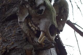 Bear Skulls in Tree